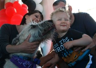 Sarah Weiser / Herald file photo, 2011 Jaden Curtis, then 1, of Snohomish, reacts as Francy, an Irish wolfhound, licks him during the Best Kisser Contest at Poochapalooza at Strawberry Fields Athletic Park in Marysville in July of 2011.