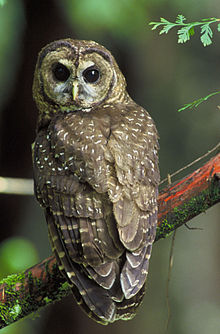 Northern Spotted OwlPhoto source: Wikipedia