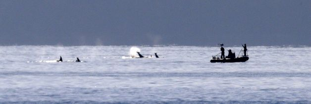 About a half-dozen orca whales swim and splash close to a small research vessel following the group near Bainbridge Island in the Puget Sound Tuesday, Oct. 29, 2013, as seen some miles away from Seattle. The whales were among about 20 or more, believed to be from the resident J and K pods, seen traveling through the passage Tuesday afternoon. Photo: Elaine Thompson, AP