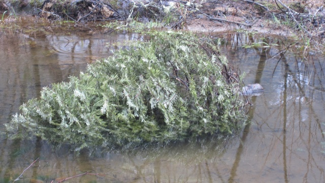 When submerged in a coastal stream, an old Christmas tree offers young salmon protection from predators and new potential food sources. | credit: Courtesy of Tualatin Valley Trout Unlimited
