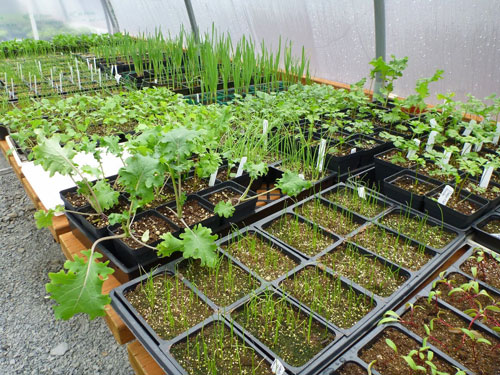 Seventy-five flats of broccoli, kale, and chard seedling were transplanted during the Greenhouse Gardening class hosted by the Tulalip Tribes and the Washington State University Snohomish County Master Gardeners Foundation on March 16, 2014 at the Hibulb Cultural Center. Photo/ Richelle Taylor