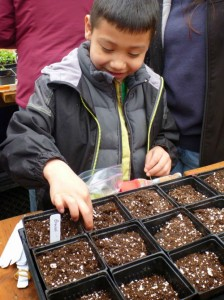 Tulalip tribal member Gisselo Andrade Jr., helps transplant broccoli that will be harvested for the Tulalip Food Bank during the Greenhouse Gardening class hosted by the Tulalip Tribes and Washington State University Snohomish County Master Gardeners Foundation on March 16, 2014. Photo/ Richelle Taylor