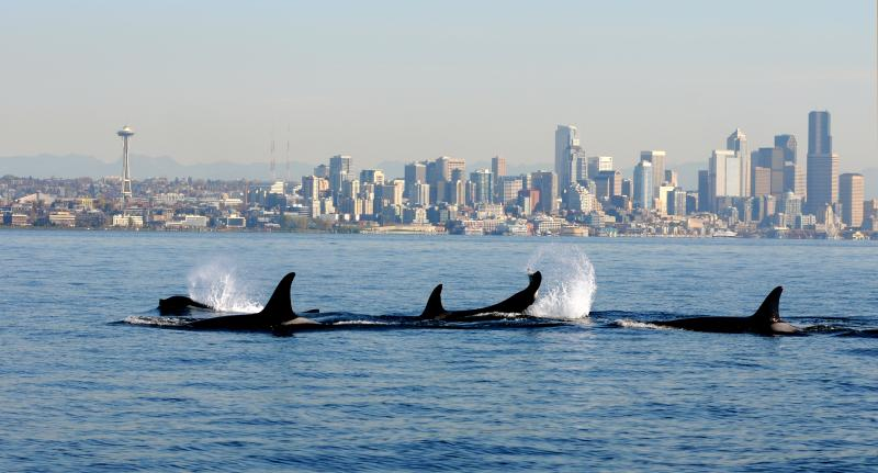 FILE -- In this file photo provided by the National Oceanic and Atmospheric Administration (NOAA) and shot Oct. 29, 2013, orca whales from the J and K pods swim past a small research boat on Puget Sound in view of downtown Seattle.AP Photo/NOAA Fisheries Service, Candice Emmons