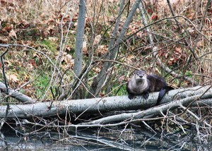 A river otter rests on a log in the Elwha River. Click the photo for more pictures from the three-year study. Photo: Lower Elwha Klallam Tribe
