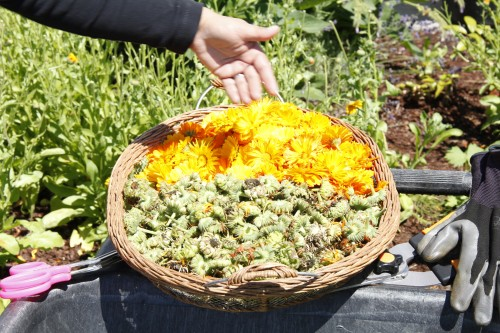 Calendula harvested from the Tulalip Health Clinic's Diabetes garden.Photo: Andrew Gobin/Tulalip News