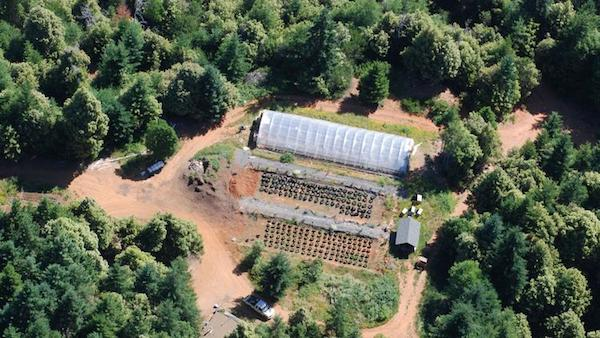 Yurok TribeOne of the many illegal marijuana farms that federal agents uprooted in a raid on July 21.