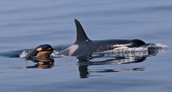 A calf born this year to a resident Puget Sound orca has not been seen recently and scientists think it may have died. | rollover image for more