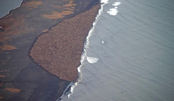 Corey Accardo, NOAA/NMFS/AFSC/NMMLThis is what 35,000 walruses look like when they do not have sea ice to rest on in the open water.