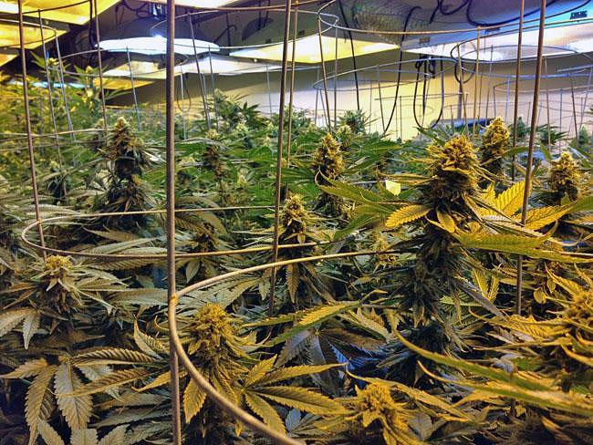 File photo. Northwest tribes are in no rush to legalize marijuana.Austin Jenkins Northwest News Network