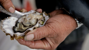 Pacific Oysters are most vulnerable to corrosive waters during their first few days of life at the time when forming shells are critical to their survival. Katie Campbell