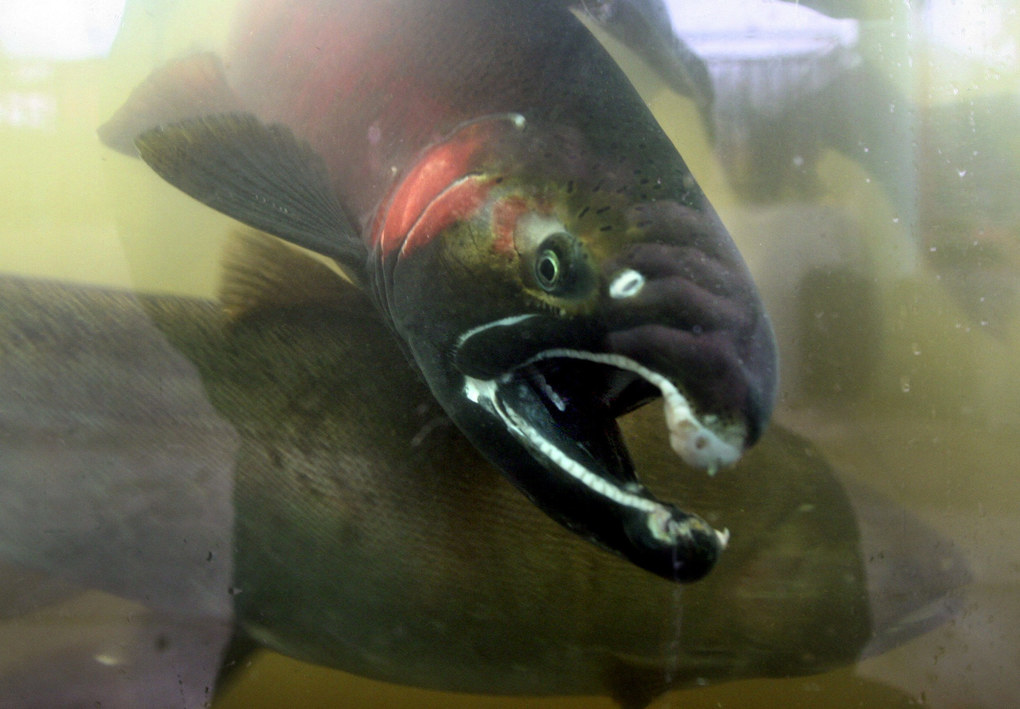 A three-year-old adult coho makes its way through the Issaquah Salmon Hatchery. (Mike Siegel / The Seattle Times)