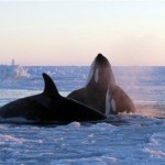Marina Lacasse / Canadian PressKiller whales surface through a small hole in the ice near Inukjuak, Northern Quebec, on Tuesday.