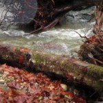 Coho salmon swim in newly restored habitat in Cherokee Creek.