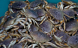 The Quinault Indian Nation proposes to research how low oxygen events may be affecting Dungeness crab populations in their traditional fishing waters. Dungeness crab is important culturally and economically to most western Washington treaty Indian tribes.