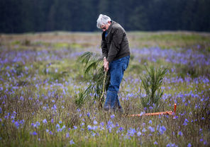Steve Ringman / The Seattle TimesBarry Bidwell, of Graham, pulls up Scotch broom after first loosening it with a Weed Wrench, a tool developed specifically for removing the noxious weed. Thanks to volunteers like Bidwell, where Scotch broom once reigned blue camas flowers now bloom in the Glacial Heritage Preserve.