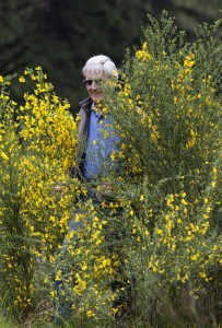 Steve Ringman / The Seattle TimesBarry Bidwell walks through a patch of Scotch broom, which can grow between 6 and 12 feet tall, at the Glacial Heritage Preserve. Bidwell has battled broom for two decades.
