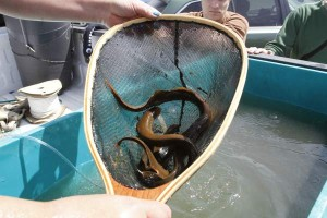 Lamprey release on Tuesday, May 14, 2013. (SARA GETTYS / Yakima Herald-Republic)