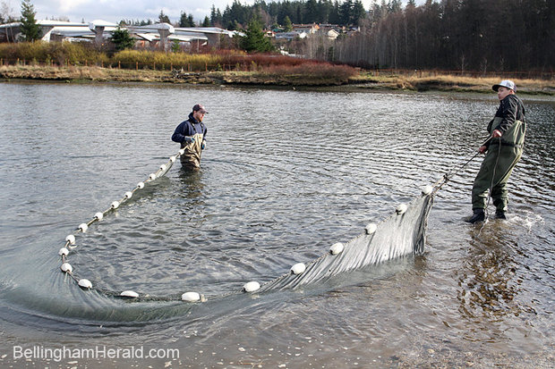 Dan Kruse, left, and Robert Teton of the Lummi Natural Resources Department, use a net to try to catch juvenile salmon to count on Feb. 15, 2012 at Marine Park in Bellingham. The department counts juvenile salmon around Bellingham Bay about once every two weeks. The Lummi and Nooksack tribes have asked federal agencies to file a lawsuit on their behalf to help determine the amount of water they should be guaranteed to bolster Nooksack River salmon stock.COLIN DILTZ — THE BELLINGHAM HERALD