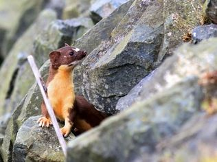A weasel pokes its heads out of the rocks along the boat launch parking lot.