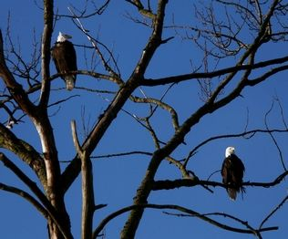 Dan Bates / The HeraldA bald eagle prepares to leave its perch on Smith Island near I-5 and the Snohomish River in January.
