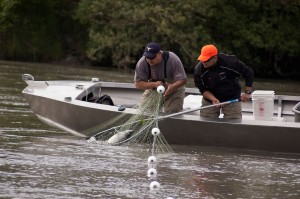 Lummi Natural Resources staffers Tony George, left, and Ralph Phair collect a hatchery chinook salmon from a tangle net in the Nooksack River.