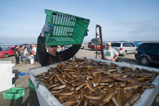Quinault Pride Seafood employees collect and weigh razor clams from tribal members during a commercial razor clam dig near Ocean CityD. Preston