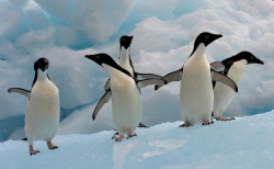 Antarctica's penguins could benefit from proposals to create huge international marine preserves in their 'hood.