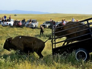 34 genetically pure bison were released into a 1,000 acre pasture Aug. 22, 2013, on the Fort Belknap Reservation in northern Montana.(Photo: Rion Sanders, Great Falls (Mont.) Tribune)