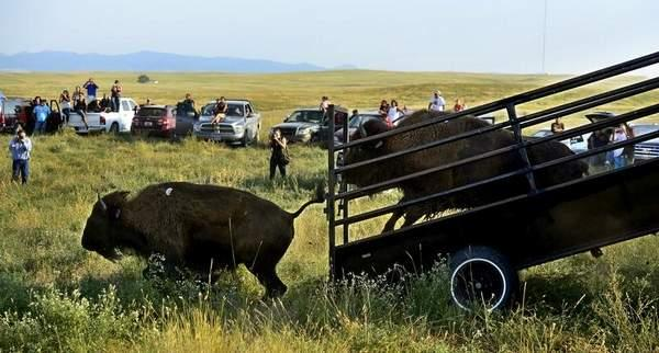 Rion Sanders/Great Falls TribuneThirty-four genetically pure bison were released onto a 1,000-acre pasture on the Fort Belknap Reservation on Thursday, August 22.