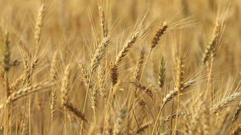 WSU study finds no more genetically modified wheat - Tulalip