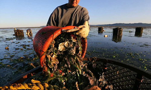 A Goose Point Oyster Co. employee harvests fresh oysters at dawn on the Nisbet family's tidelands in Willapa Bay. The Nisbets struggled to make ends meet in recent years as ocean acidification wiped out oyster reproduction in the bay and along the coast.