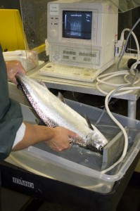 Staff at NOAA's Manchester Research Station ultrasound a chinook salmon to determine its sex and whether it is ready to be spawned.