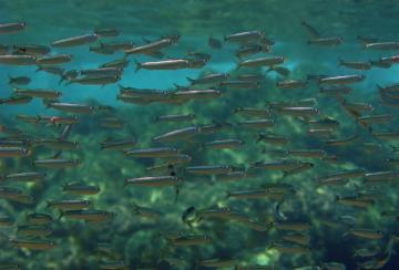 A school of sardines. The tool will soon produce a months-long outlook for Pacific Northwest sardine habitat.Image-Wikimedia / Alessandro Duci - See more at: http://alaska-native-news.com/alaska-native-news-at-sea/9212-new-ocean-forecast-could-help-predict-fish-habitat-six-months-in-advance.html#sthash.JjthM2LO.dpuf