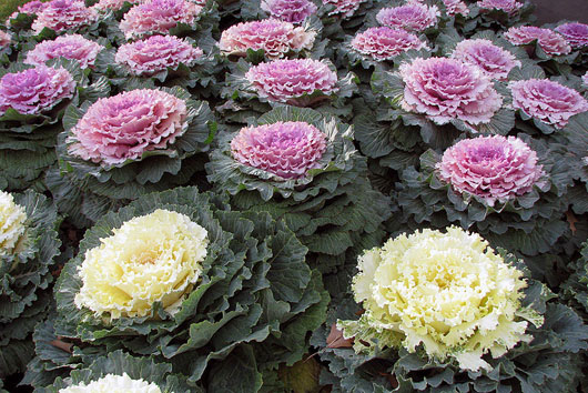 Ornamental kale, as edible as any other kind of kale, blooms all winter long. It is the cold that makes it take on its vivid coloring; ornamental kale is not as colorful in the warm months.Photo by Terren