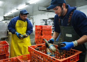 LINDSEY WASSON / The Seattle TimesEnri Mendoza, left, and Daniel Sandoval, sort geoduck at Taylor Shellfish Farms in Shelton last week. China, the biggest market for West Coast geoduck, suspended shellfish imports from Northern California to Alaska on Dec. 3 after toxins were detected in two shipments.