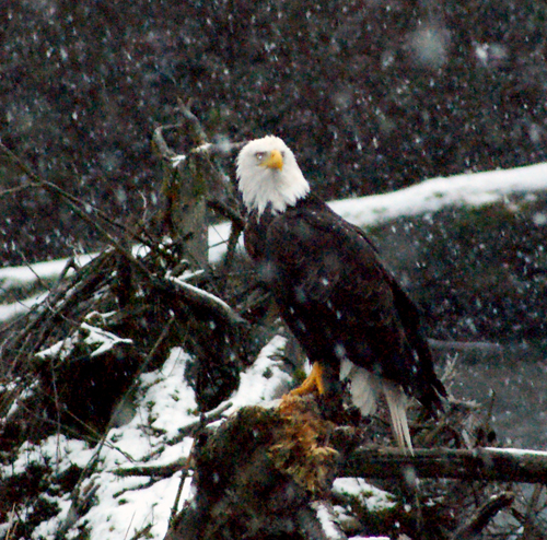 Bald eagle. Photo: Shawn wise