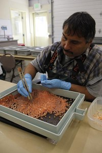 Lower Elwha Klallam Tribe hatchery technician Keith Lauderback sorts through pink salmon eggs at the tribe's hatchery.