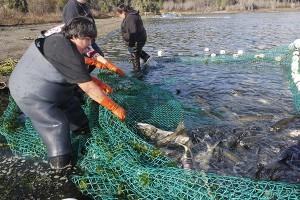 Skokomish tribal member Annette Smith hauls in chum salmon in southern Hood Canal.