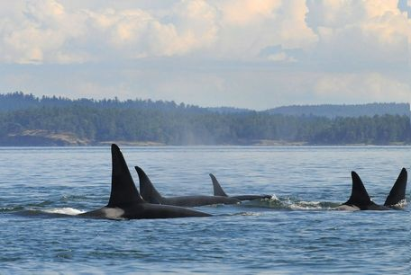 Photo courtesy Howard Garrett / Orca Network, JuneMembers of L pod, one of the Salish Sea's resident orca pods, heads north up Boundary Pass to Georgia Strait.