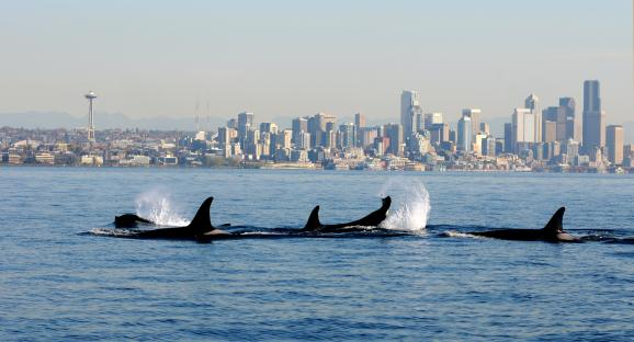 Credit AP Photo/NOAA Fisheries Service, Candice EmmonsFILE - In this file photo provided by the National Oceanic and Atmospheric Administration (NOAA) and shot Oct. 29, 2013, orca whales from the J and K pods swim past a small research boat on Puget Sound in view of downtown Seattle.
