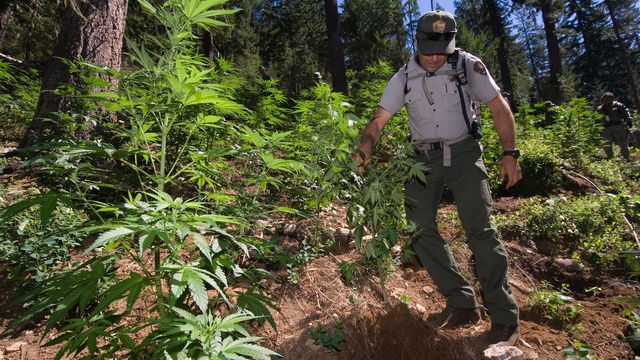 A national park ranger helps other law enforcement agencies eradicate a marijuana growing operation discovered in the park. | credit: David Snyder for the NPS