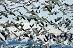 Mike Benbow / For The HeraldThe Port Susan Snow Goose and Birding Festival is this weekend.