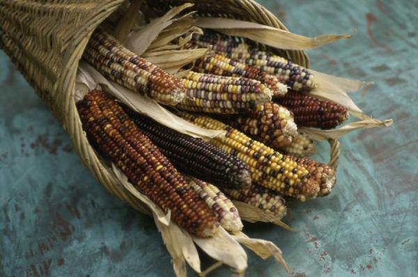 cornbasket_GMO