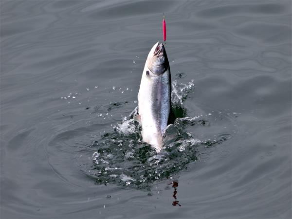 File photo. Fisheries managers are expecting a banner year for ocean salmon fishing.Michael B Flickr
