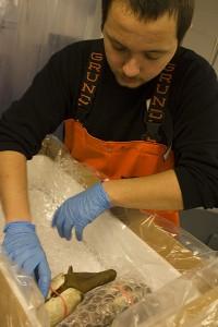 Suquamish Seafoods employee James Banda packs geoduck for international shipping. T Royal