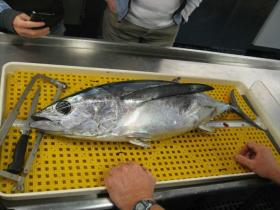 Researchers check albacore tuna caught off Oregon Coast radiation from Fukushima, Japan.   credit: Oregon State University   rollover image for more
