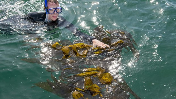 A graduate student in the marine biology program at Cal State Long Beach collects kelp in the waters off of Long Beach during Kelp Watch 2014's initial collection of samples. (Photo credit: David J. Nelson/Cal State Long Beach)