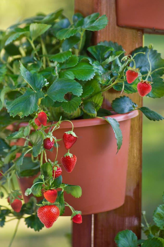 Strawberries in a potPhoto: Gardener's Supply Company