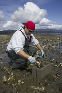 Shellfish technician Josh Hermann loads a cinderblock cell with oyster clusters with oyster drills on them. Click on the photo to see more at NWIFC's Flickr page.