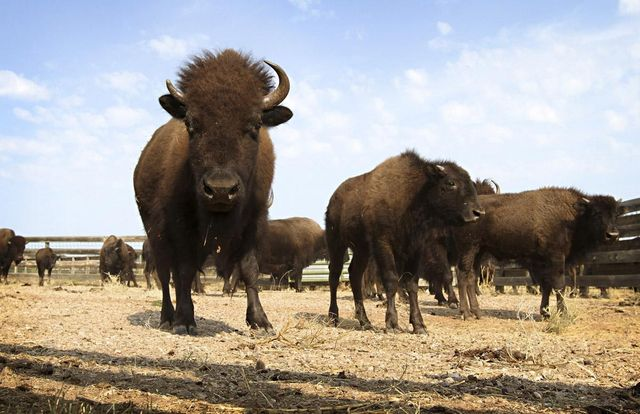 Enlarge PhotoFILE - This Sept. 23, 2012 file photo shows buffalo in Custer State Park in western South Dakota. U.S. senators from the Dakotas and other areas are making another attempt at having the bison declared the national mammal. Sens. Tim Johnson and John Thune of South Dakota and John Hoeven and Heidi Heitkamp of North Dakota are among those introducing the National Bison Legacy Act on Wednesday, June 11, 2014. (AP Photo/Amber Hunt, File)